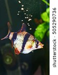 Small photo of Feeding aquarium fish - barbus puntius tetrazona in aquarium
