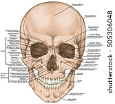 the bones of the cranium  the... | Shutterstock . vector #505306048