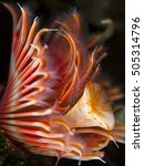 Small photo of Close-up of a red tube worm (Serpula vermicularis)