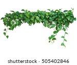 heart shaped green leaves vine  ... | Shutterstock . vector #505402846