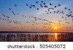 wintering barnacle geese ...