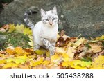 Stock photo bengal cat on autumn background seal silver lynx point spotted tabby domestic cat into nature 505438288