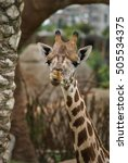 giraffes | Shutterstock . vector #505534375