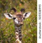 Stock photo adorable baby giraffe with funny tufts in kenya s masai mara 505538995