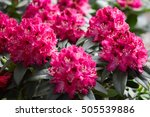 Rhododendron Pink Red Flowers...