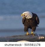 Bald Eagle Screaming On Log...