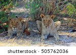 Two Lioness Shading Under A...
