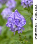 Small photo of Aconitum carmichaelii 'Mittelstand'. Ranunculaceae family