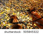 Stock photo two dogs on a leash in autumn walk 505845322