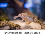 Small photo of Close up underwater image of an African Clawed Frog or Platanna