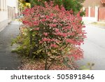 euonymus alatus red leaf... | Shutterstock . vector #505891846