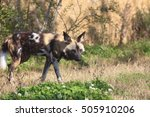 Small photo of African hunting dog (Lycaon pictus)