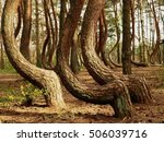 crooked forest in gryfino | Shutterstock . vector #506039716