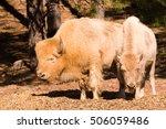 White Bison   Calf