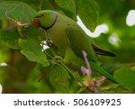 Red Neck Parakeet