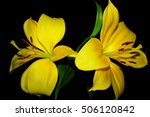 Yellow Lilies On A Black...