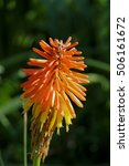 Small photo of Beautiful Aloe barbadensis flowers in nature background