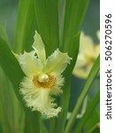 Chondrorhyncha Amabilis Orchid...