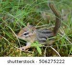 Closeup Of A Tiny Baby Chipmun...