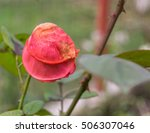 Rosebud Beat By The Frost