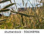 ear of rye in the field. | Shutterstock . vector #506348986