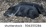 collared peccary also known as... | Shutterstock . vector #506355286