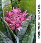 Small photo of Flowers on a bromeliad plant called silver urn or Aechmea fasciata