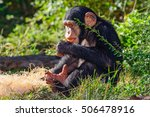 Two Year Old Young Chimpanzee ...