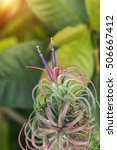 Small photo of Tillandsia with violet flower and sunlight. (air plant)