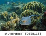 Stingray On The Red Sea Bottom