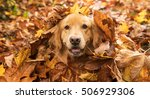 Golden Retriever Dog In A Pile...