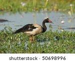 Magpie Goose In Kakadu Nationa...
