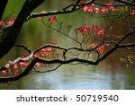 Blooming Dogwood Tree