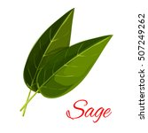 Sage Leaves. Vector Isolated...