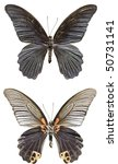 Small photo of Great Morman Butterfly [Papilio memnon agenor] (upper and lower)