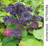 Small photo of Home Grown Purple Leafed 'Redbor' Kale (Brassica oleracea) Surrounded by Nasturtium (Tropaeloum) on an Allotment in a Vegetable Garden in Devon, England, UK