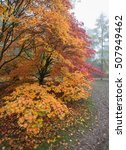 Small photo of golden acer in autumn colours