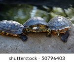 turtle  red eared slider ... | Shutterstock . vector #50796403