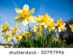 A Bunch Of Wild Daffodils On A...