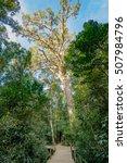 giant yellowwood tree in... | Shutterstock . vector #507984796