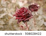 Deep Red Roses In Autumn Garde...