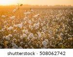 cotton field background ready... | Shutterstock . vector #508062742