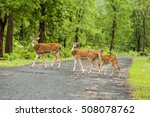 Spotted Deers Or Chitals In...
