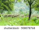 spotted deers or chitals in... | Shutterstock . vector #508078768