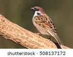 Eurasian Tree Sparrow On A...