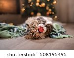 Stock photo tabby and happy cat christmas season new year holidays and celebration he plays with a 508195495