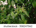 Small photo of Clove Basil, Shrubby Basil,African Basil
