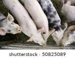 Curious Pigs On An Eco Farm...