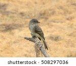 Small photo of Alder Flycatcher