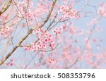 soft focus cherry blossom or... | Shutterstock . vector #508353796